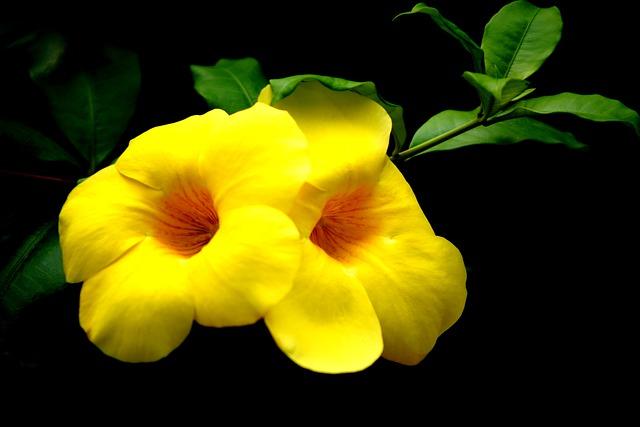 L'allamanda : la plante ornementale idéale pour  votre intérieur